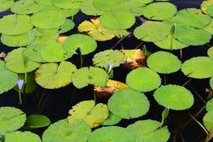Waterlilies w stawie Byron zatoka australia odpowiada winogrono myśliwego nowego południowego doliny Wales Australia obraz stock