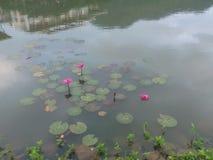 Waterlilies royalty free stock photos