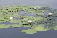 Waterlilies Stock Photos