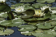 Waterlilies Stock Image
