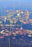 Waterliliies blancs dans l'étang naturel Image libre de droits