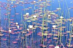 Waterliliies blancs dans l'étang naturel Photos libres de droits