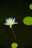 Waterliliy e travertini Immagini Stock
