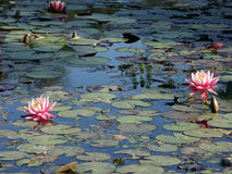 waterlillies Royaltyfri Foto