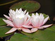 Waterlillies imagen de archivo libre de regalías