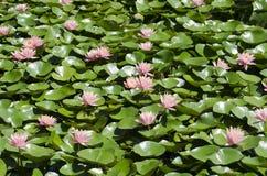Waterlillies Imagenes de archivo