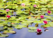waterlillies Obrazy Stock