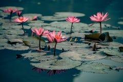 Waterlillies adorn the water in vietnam. Beautiful Royalty free stock photo. waterlillies adorn the water in vietnam stock image