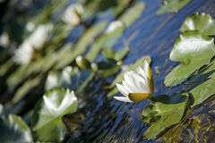 Waterlilly Photos libres de droits