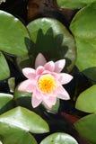 Waterlilly royalty-vrije stock afbeeldingen