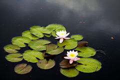 Waterlilly Fotos de archivo