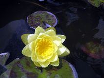 WATERLILLY lizenzfreie stockfotografie