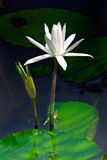 Waterlilly and Bud. Waterlillies on a tranquil pond, rising above their pad Stock Photography