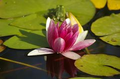 Waterlilly Stock Photography