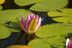 Waterlilly Royalty Free Stock Photo