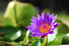 Waterlilly eller Lotus Arkivfoto