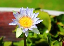 Waterlilly-Gelbstaubgefässe Lizenzfreie Stockfotografie