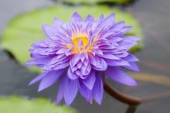 Waterlilly i lotos Zdjęcia Stock