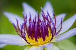 Waterlilly i lotos Fotografia Royalty Free
