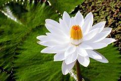 Waterlilly i lotos Zdjęcia Royalty Free