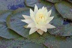 Waterlilly ist es lilly? Lizenzfreie Stockbilder