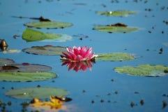Waterlilly på dammet Arkivbilder