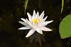 Waterlilly. In a pond Royalty Free Stock Images