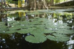 Waterlilly in a pond stock photography