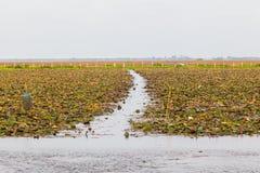 Waterlilly w jeziorze Zdjęcia Royalty Free