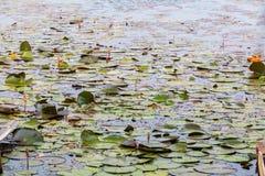 Waterlilly w jeziorze Zdjęcie Royalty Free