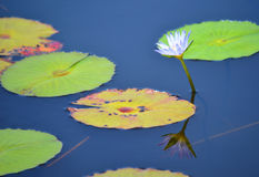 Waterlily反射 免版税库存图片