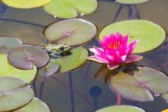 Waterlily在庭院池塘 库存照片