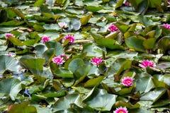 Waterlily在庭院池塘 免版税库存照片