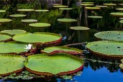 Waterlily在巴厘岛 库存图片