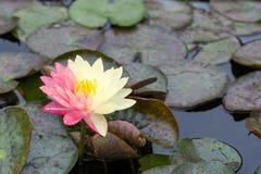 waterlily女王诗丽吉植物园特写镜头  库存图片