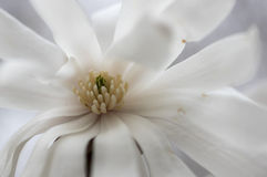 Waterlily木兰(木兰stellata) 免版税图库摄影