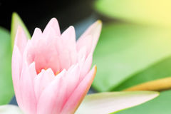 waterlily桃红色在自然池塘 库存照片