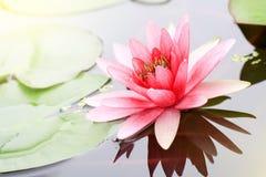 waterlily桃红色在自然池塘 免版税库存照片