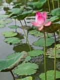 waterlily桃红色池塘 免版税库存照片