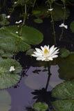 waterlily欧洲白色或nenuphar,一朵美丽的水生花 库存图片