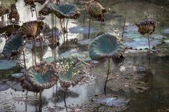 Waterlily池塘,干燥和死水百合,死的莲花,与荷花的美好的色的背景在池塘 免版税图库摄影