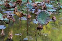 Waterlily池塘,干燥和死水百合,死的莲花,与荷花的美好的色的背景在池塘 库存照片