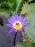 waterlily照片 图库摄影
