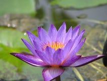 waterlily特写镜头紫色 免版税库存照片