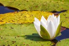 waterlily白色花 库存照片