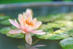 waterlily美好的桃红色与绿色叶子在池塘 图库摄影