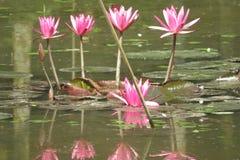 waterlily美好的桃红色在池塘 免版税库存照片