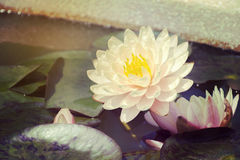 waterlily美好的桃红色或与裁减路线的莲花 图库摄影