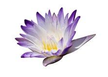 waterlily美好的紫色或与裁减路线的莲花 库存图片