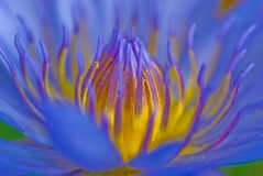 waterlily蓝色 免版税库存图片